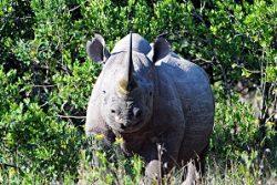 Safari Club Region - Kenya Laikipia Black Rhino