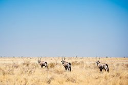 Safari Club Region - Botswana Kalahari Oryx