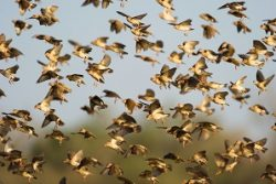 Safari Club Region - Botswana Tuli red-billed queleas
