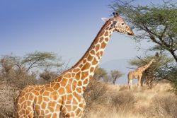 Safari Club Region - Kenya Samburu Reticulated Giraffe