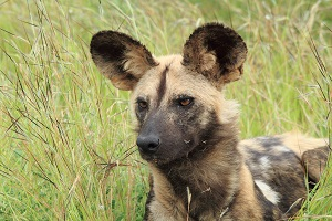 Safari Club - Kruger South Africa Wild Dog