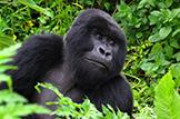 Safari Club - Rwanda gorilla