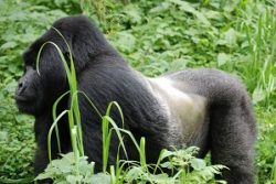 Safari Club Region - Rwanda Silver-back Gorilla