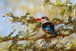 Safari Club Region - Tanzania Lake Manyara Grey-Headed Kingfisher