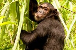 Safari Club Region - Tanzania Mahale Mountains Chimpanzee