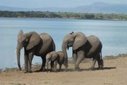 Safari Club Region - Tanzania Selous Elephants