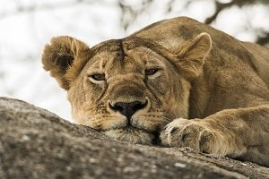 Safari Club Tours - Tanzania Serenegeti Lioness