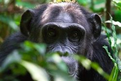 Safari Club Region - Uganda Kibale Chimpanzee