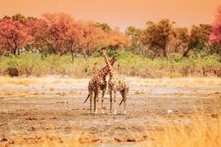 Safari Club Region - Zambia Kafue Giraffe