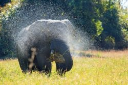 Safari Club Region - Zambia South Luangwa Elephant spraying water