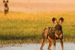Safari Club Region - Zimbabwe Mana Pools wild dog