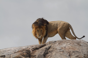 Safari Club Tours - Land_of_the_Big_Cats