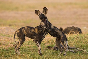 Safari Club Tours - Botswana wild dogs playing