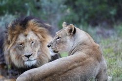 Safari Club Region - South Africa Eastern Cape Amakhala Game Reserve lions