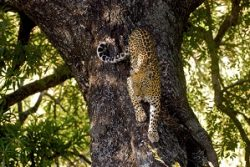 Safari Club Region - South Africa Kruger Leopard