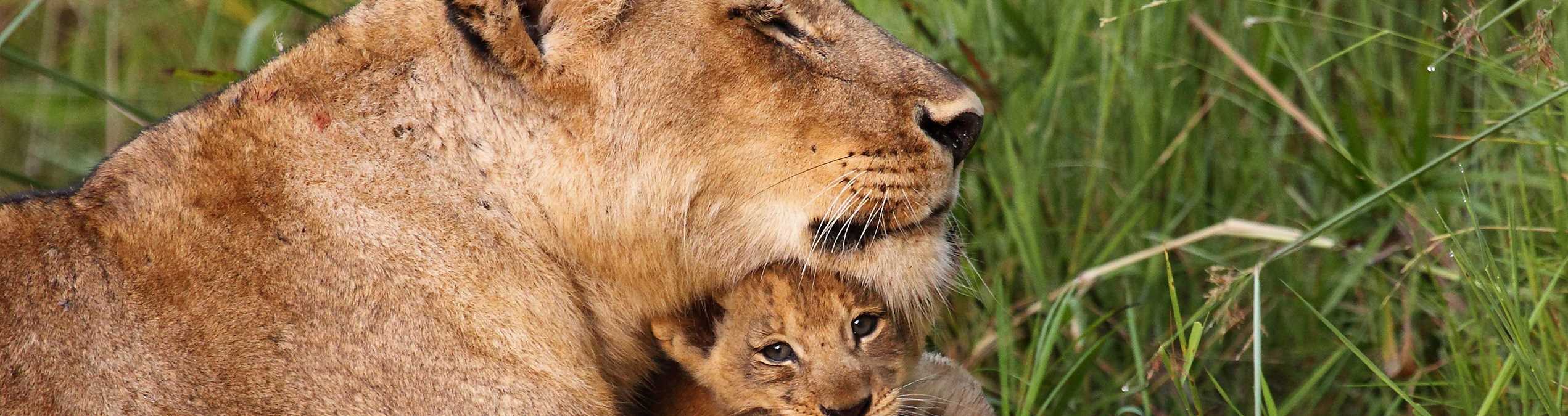 Safari Club - Kenya_Liakipia_Lioness_and_cubs