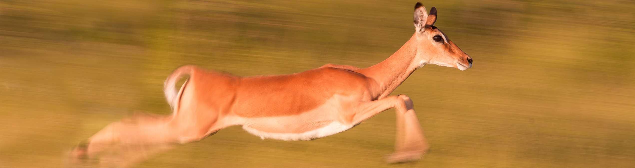 Safari Club - Kenya_Meru_Impala_running