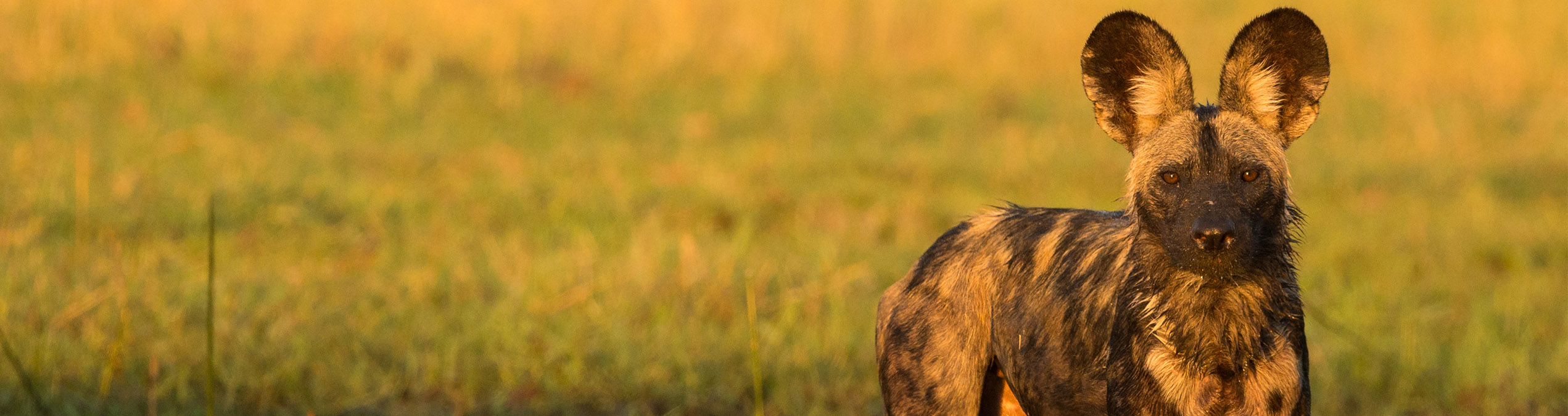Safari Club - Mana_Pools_Zimbabwe_Wild_Dog