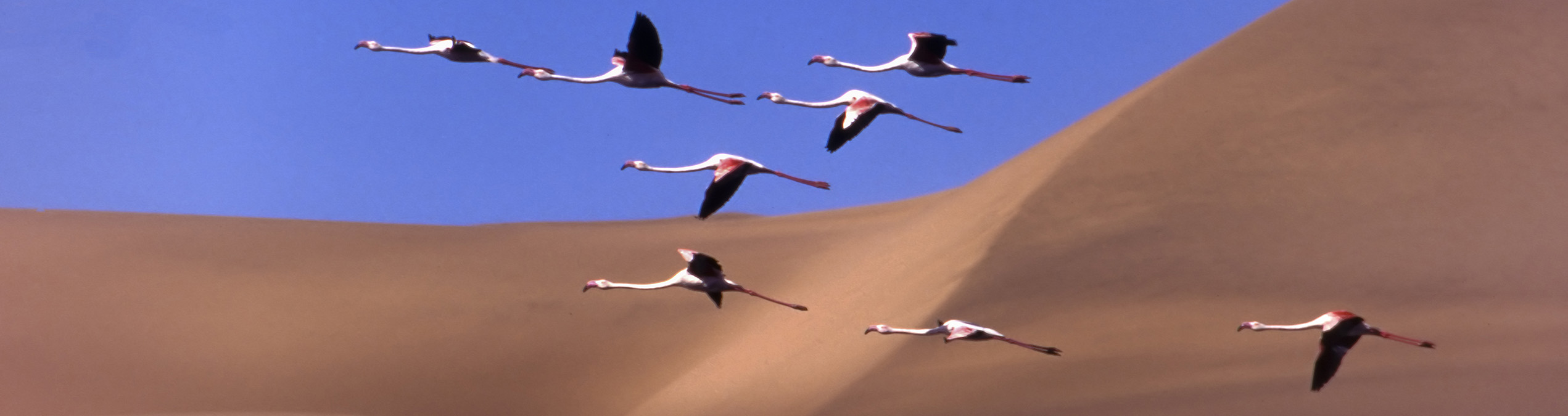 Safari Club - Namibia_Namib_Nakluft_National_Park_Flamingos_flying