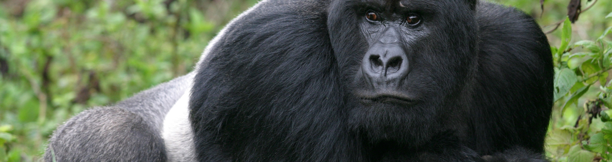 Safari Club - Parc_National_des_Volcans_Rwanda_Guhonda_Silverback_Gorilla
