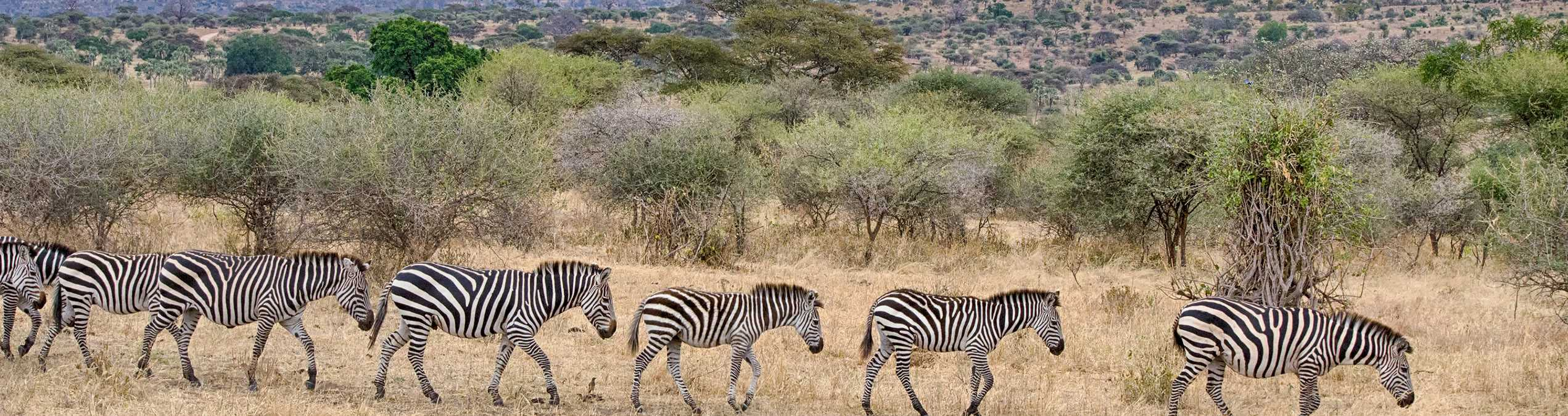 Safari Club - Tarangire_Zebra
