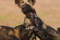 Safari Club Region - North Luangwa African wild dog puppies