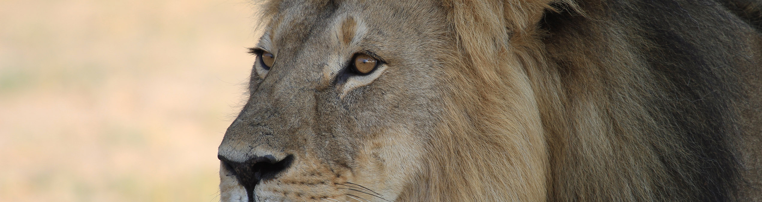 Safari Club - Zimbabwe_Hwange_National_Park_Cecil_the_male_lion