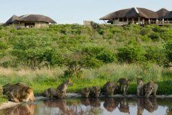 Safari Club Classic Accommodation - Ta_Pan_Camp_lions_drinking