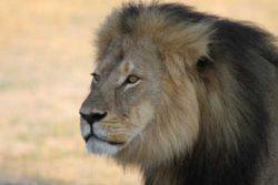 Safari Club Region - Cecil the male lion Zimbabwe