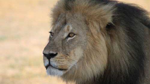 Safari Club - Cecil the male lion Zimbabwe
