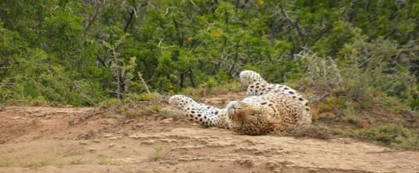 Safari Club - cheetah