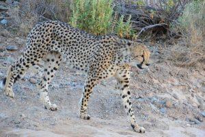 Safari Club - Cheetah in Sanbona