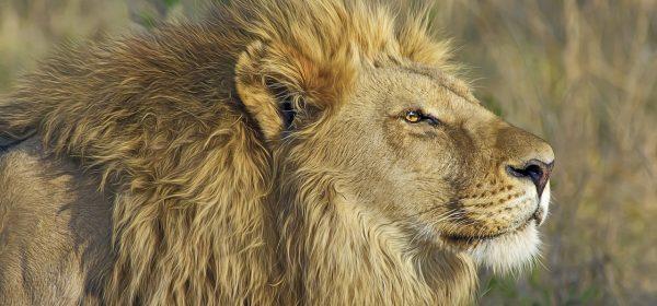 Safari Club - Male lion in profile
