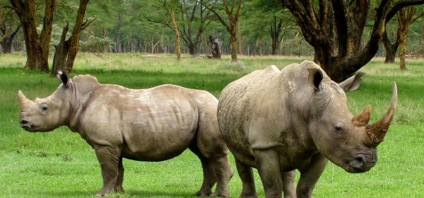 Safari Club - White Rhinos in Africa