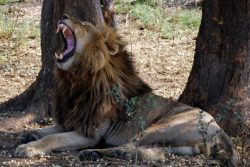 Safari Club - Kafue-Yawning-male-lion