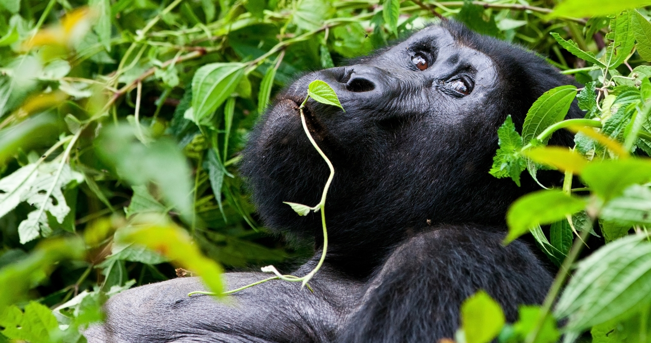 Safari Club - Uganda_Bwindi_National_Park_Gorilla