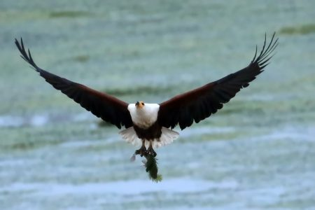 African fish eagle Timbavati