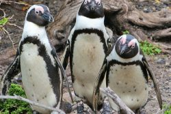 Safari Club Photos - African penquins