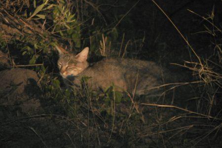 African Wildcat in Kwando