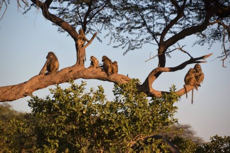 Baboon family Hwange