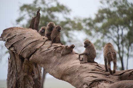 Baboons in the Maasai Mara