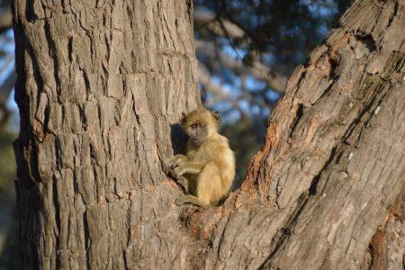 Baby baboon Hwange
