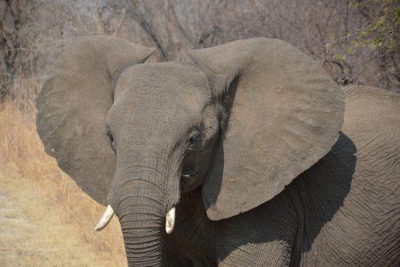 baby elephant charge Hwange