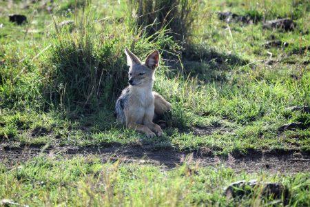 Bat-eared fox Maasai Mara