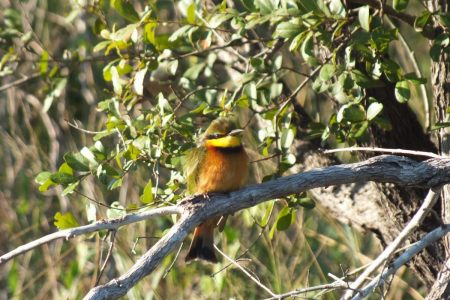 Bee-eater Limpopo