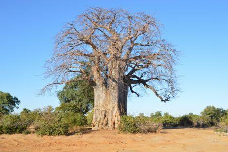 Big Baobab Lower Zambezi