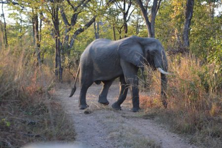 Big bull elephant South Luangwa