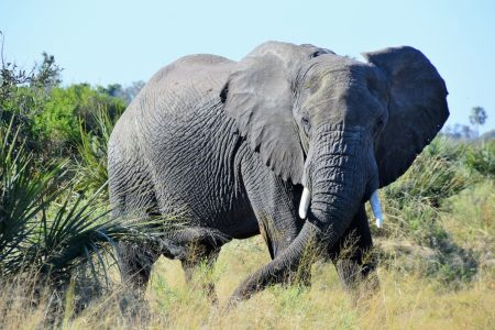 Safari Club - Big tusker at Gomoti Plains