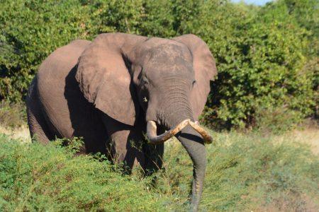 Big tusker Matusadona National Park