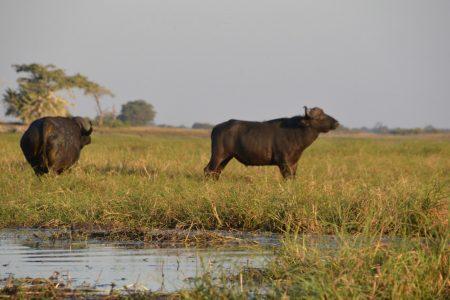 Buffalo Bulls Kafue